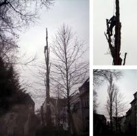 Bild Seilunterst�tzte Baumf�llung