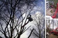 Bild Rückschnitt bzw. Entlastungschnitt zum Erhalt von Großbäumen